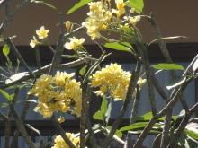 Des fleurs de frangipaniers.