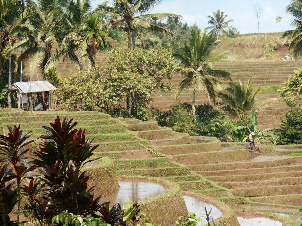 Une rizière en terrasse.