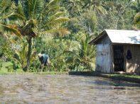 Travail dans la rizière.